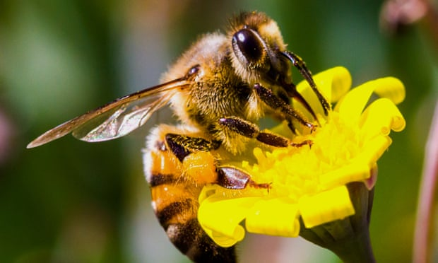 A photo of a bee getting nectar from a yellow daisy.