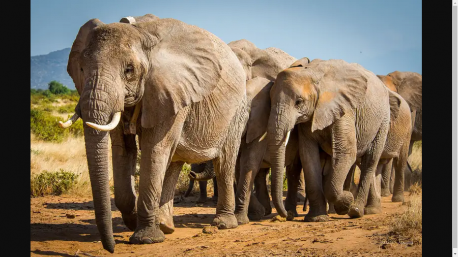 Endangered African and Asian elephants